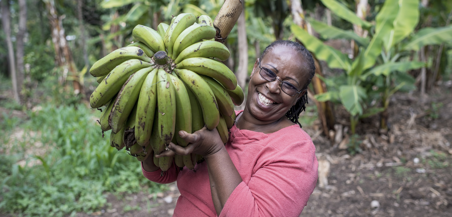 bumper banana harvest due to bioslurry application